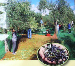 Bio-olivenöl oliterra